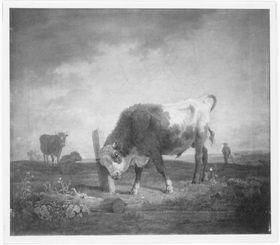 Junger Stier, sich an einem Pfosten reibend
