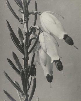 Erica herbacea