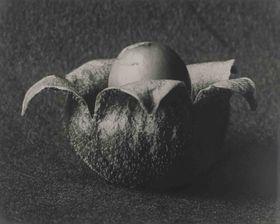 Cucubalus baccifer