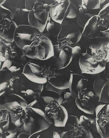 Euphorbia pithyusa