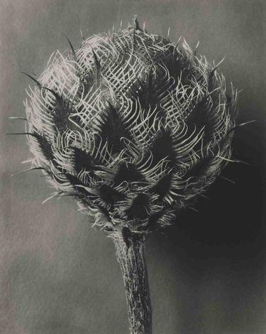 Centaurea kotschyana