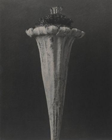 Cotula turbinata
